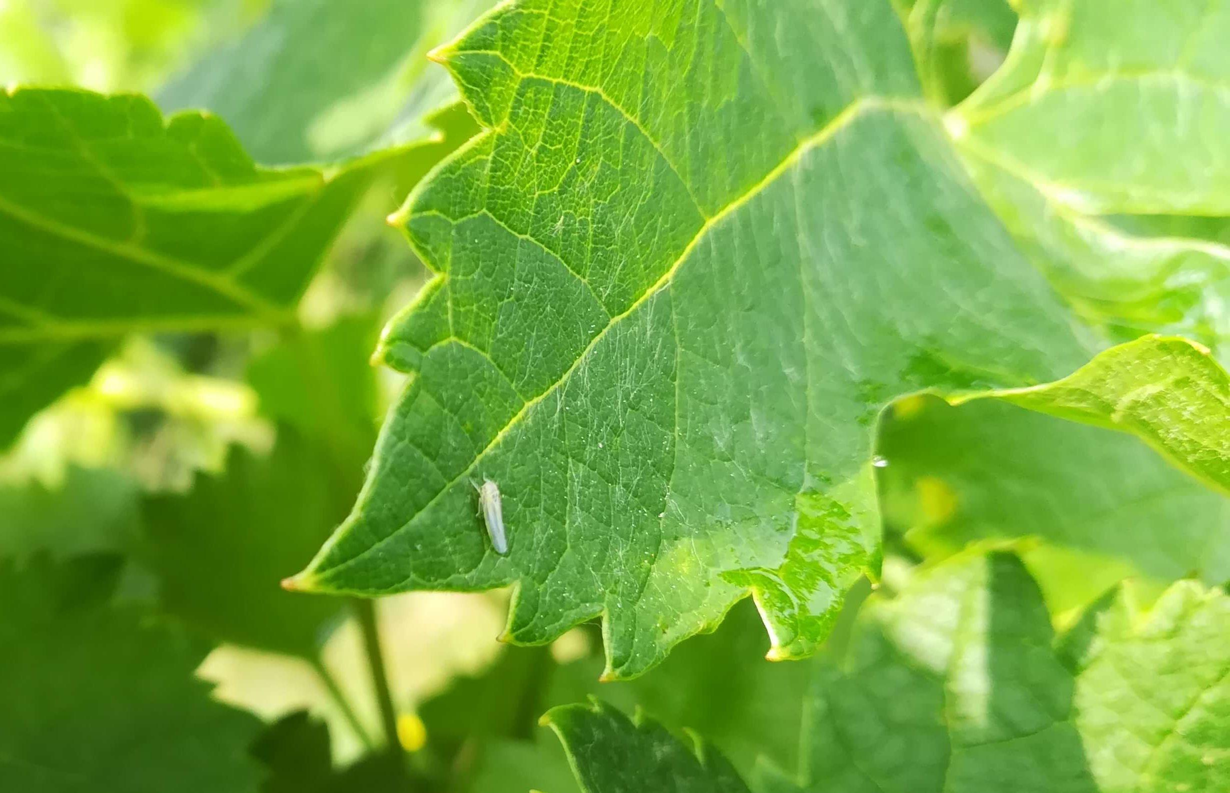 photo cicadelle verte adulte